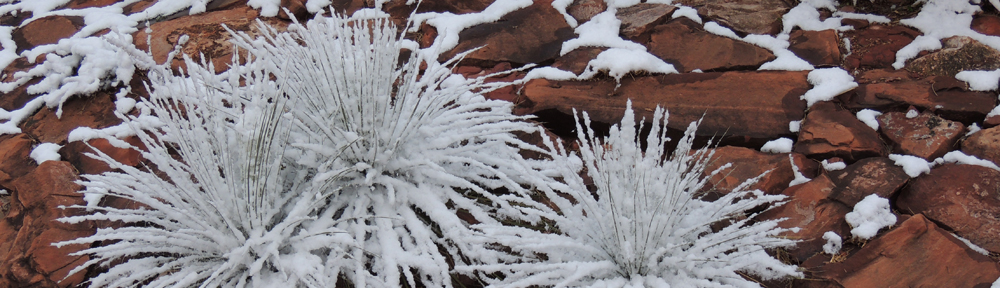 yucca-in-snow.jpg